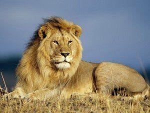 До чого сниться лев: цікаві тлумачення сновидінь про царя звірів