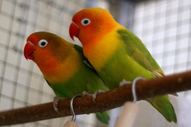 До чого сниться папуга: чекайте хороших новин і остерігайтеся пліток