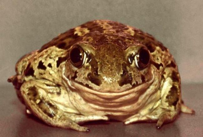 До чого сниться жаба: до матеріального благополуччя або новому знайомству