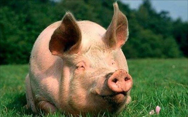 До чого сниться жива свиня: вас чекають несподівані перешкоди в справах